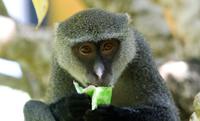 Sykes's x vervet monkey hybrid, Diani, Kenya