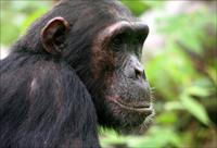 Robust chimpanzee Pan troglodytes schweinfurthii, Mahale Mountains National Park, Tanzania