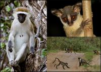 Primates of the coastal forests of Kenya