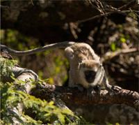 Hilgert's vervet monkey (Chlorocebus pygerythrus hilterti)